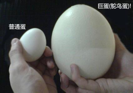 鸵鸟蛋抗体可以防止肥胖
